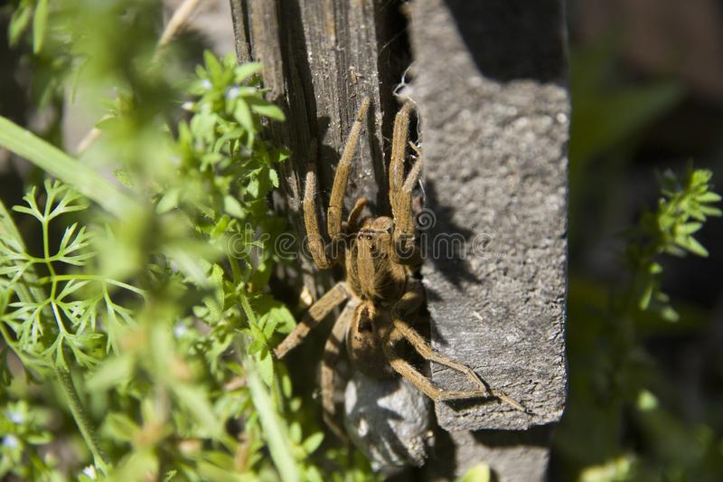 Detail of wolf spider in the garden stock photo