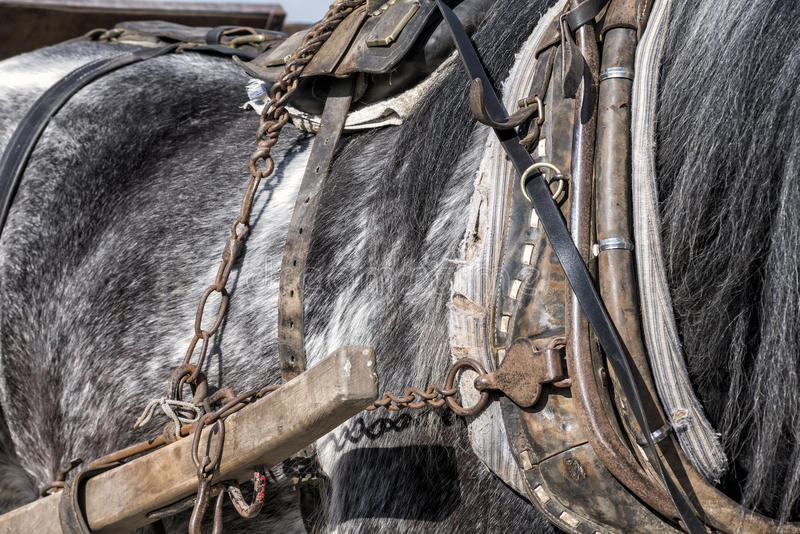 Detail of a working horse. Detail of tack for heavy horse stock images