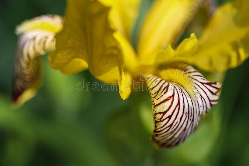 Detail of yellow iris flowers closeup in wild nature od Little Carpathian mountains. Sunny day stock image