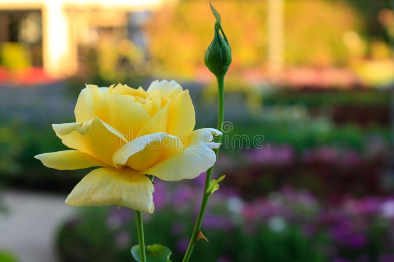 Detail of yellow rose in a garden royalty free stock image