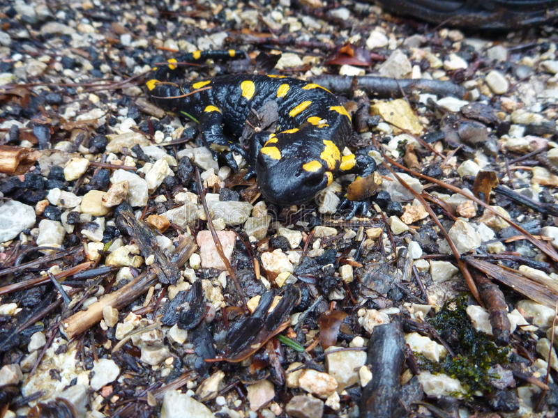 Detail of a yellow spotted salamander. A detail of a yellow spotted salamander stock images