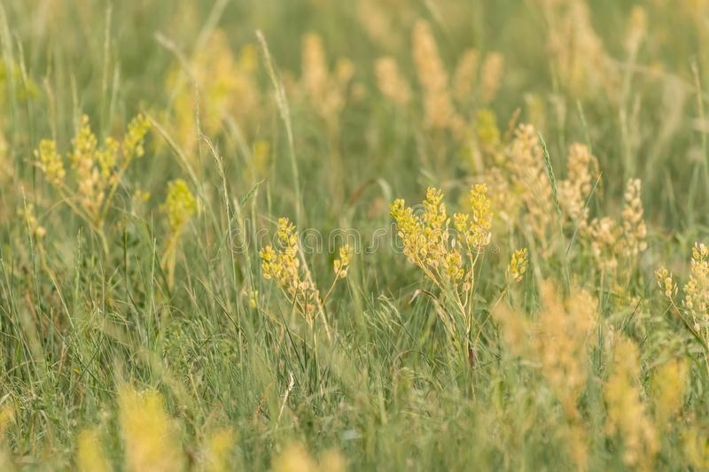Detail of Yellow Wheat Grass. In Summer Field stock photography