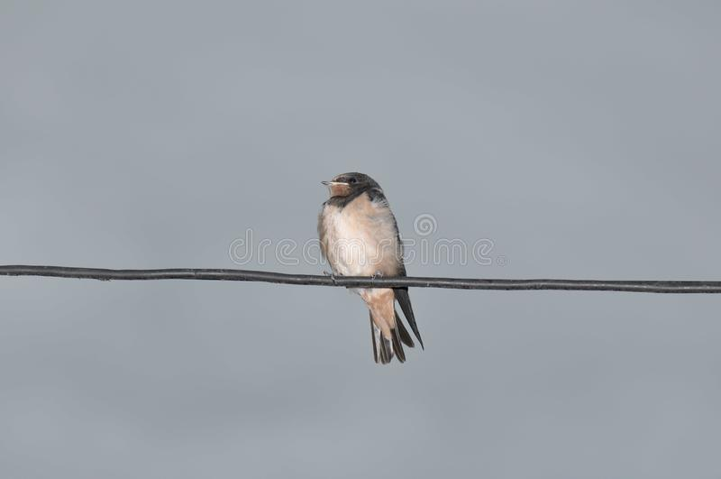 Young swallow stock image