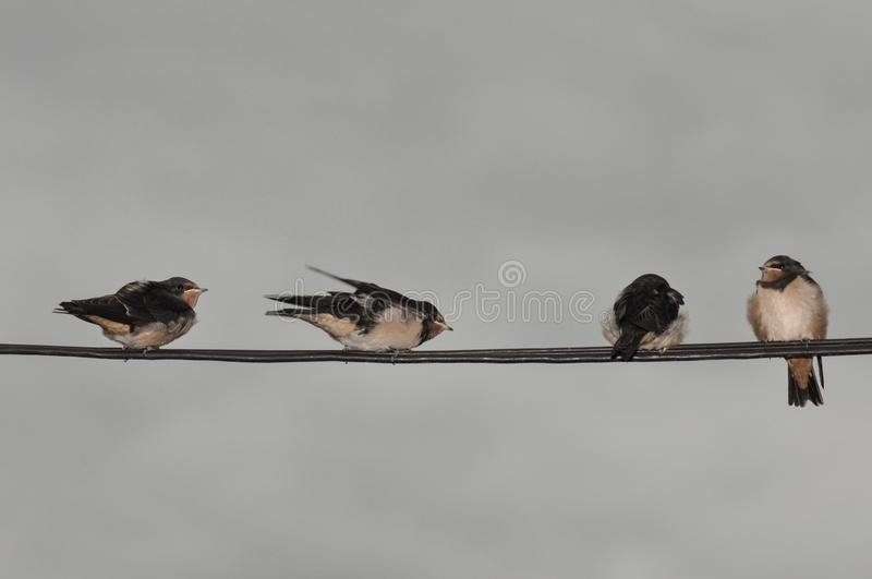 Young swallow royalty free stock photo