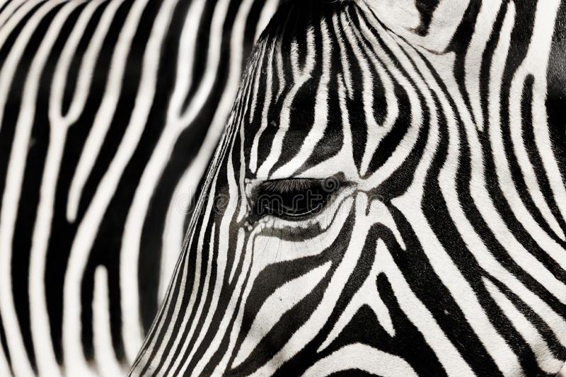 Detail zebra with the background of other zebra royalty free stock photos