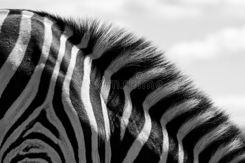 Detail of zebra stripes and mane, photographed in monochrome at Knysna Elephant Park, Garden Route, Western Cape, South Africa. royalty free stock photo