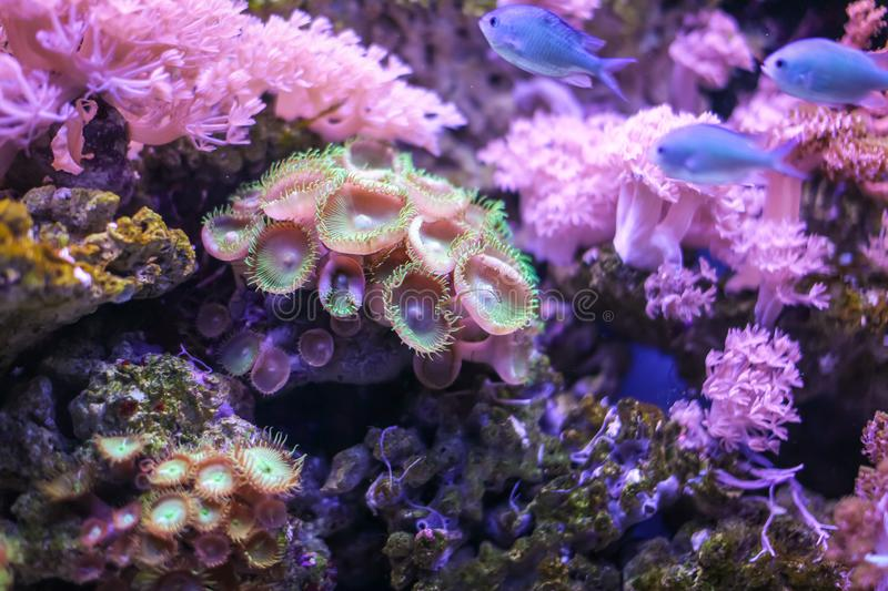 Detail of Zoanthus polyp. Zoanthids family is a group of popular corals for marine aquarists stock images