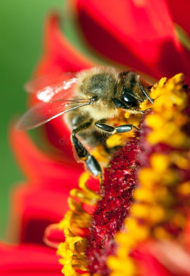 Detailbij of honingbij in de Latijnse westelijke honingbij bestoven rode en gele bloem van Apis Mellifera, Europees of royalty-vrije stock foto's