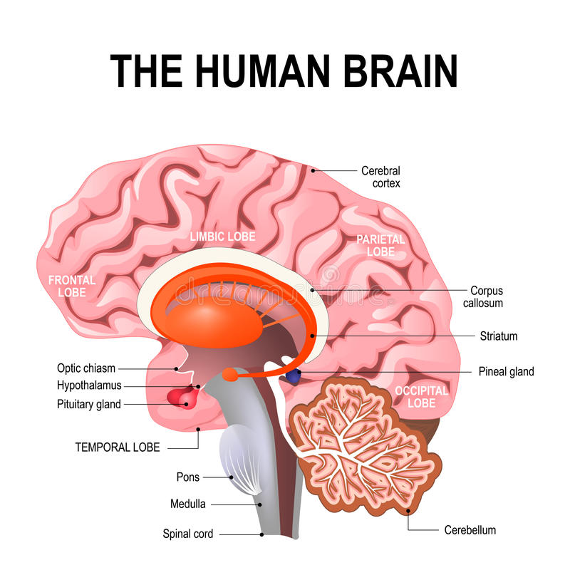 Detailed anatomy of the human brain. royalty free illustration