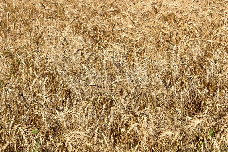A detailed background of ripe barely heads.  stock image