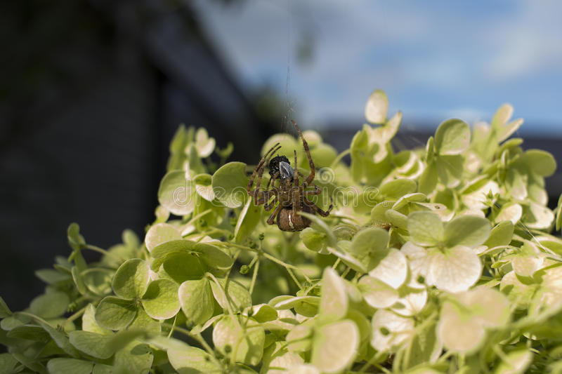 Detailed backyard up-close micro spider devouring little critter. Backyard up-close micro spider devouring little critter while hanging from his webbing royalty free stock images