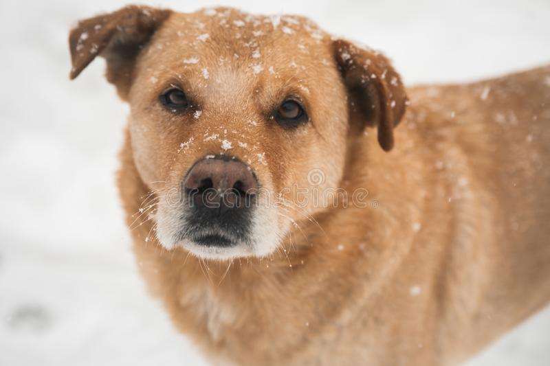 Detailed on a beautiful snow face of yellow dog. Close up of beautiful and funny domestic dog with snow on face stock images