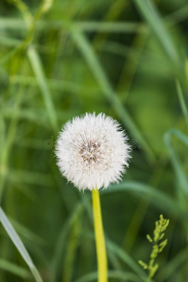 Detailed close up of a beautiful white dandelion royalty free stock image