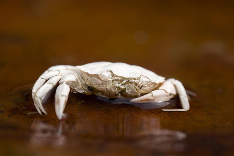 Looking at me?. Detailed close up of dead dried white crab. Looking at me expression. Brown rusty background with reflections in the water stock photos