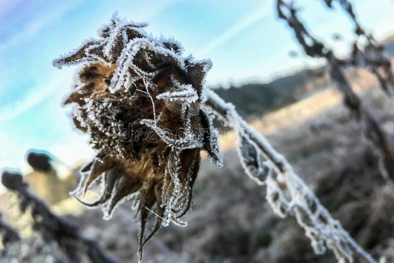Detailed close up of frozen flower early in the morning in winter stock photo