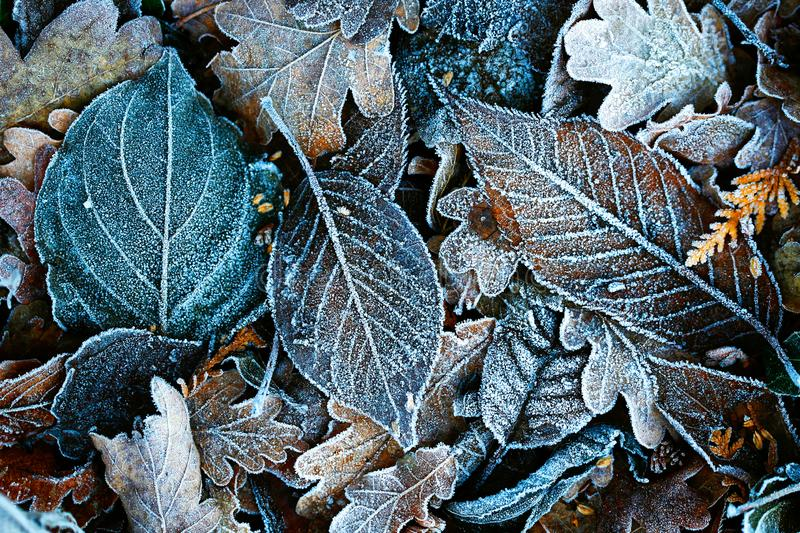Detailed close up of frozen leaf early in the morning in winter royalty free stock images