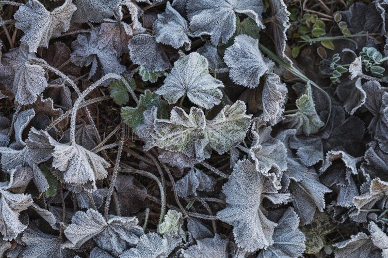Detailed close up of frozen leafs on the ground in winter stock photo