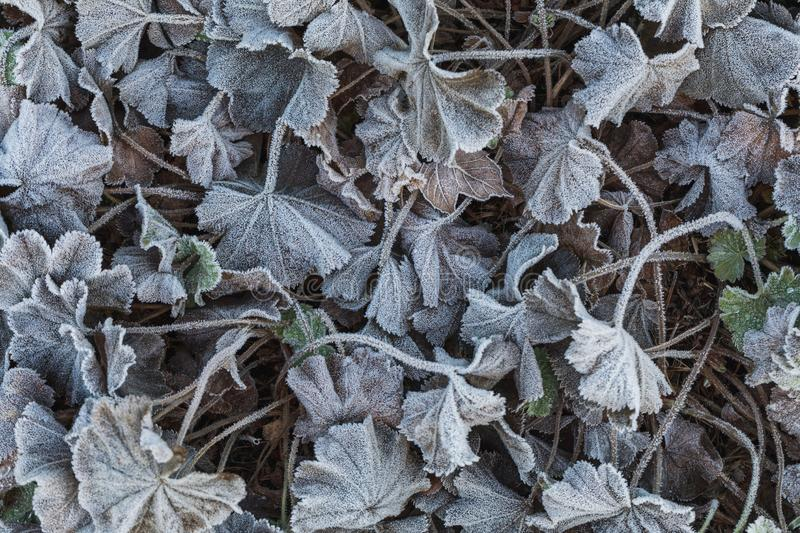 Detailed close up of frozen leafs on the ground in winter stock photos