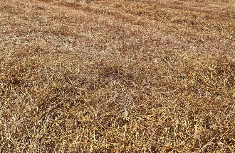 Detailed close up view on golden straw on an agricultural field. Seen in northern germany royalty free stock photography