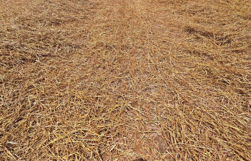 Detailed close up view on golden straw on an agricultural field. Seen in northern germany royalty free stock images