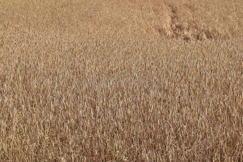 Detailed close up view on golden straw on an agricultural field. Seen in northern germany royalty free stock image