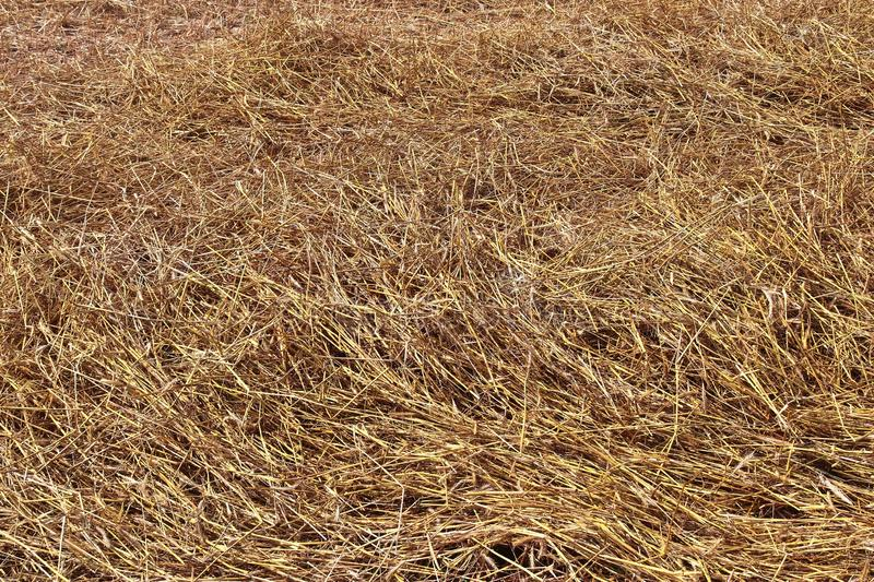 Detailed close up view on golden straw on an agricultural field. Seen in northern germany royalty free stock photo