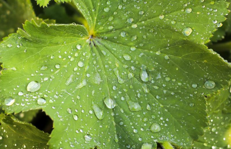 Detailed close up view on green grass and plant leaves with raindrops. On a rainy day royalty free stock photos