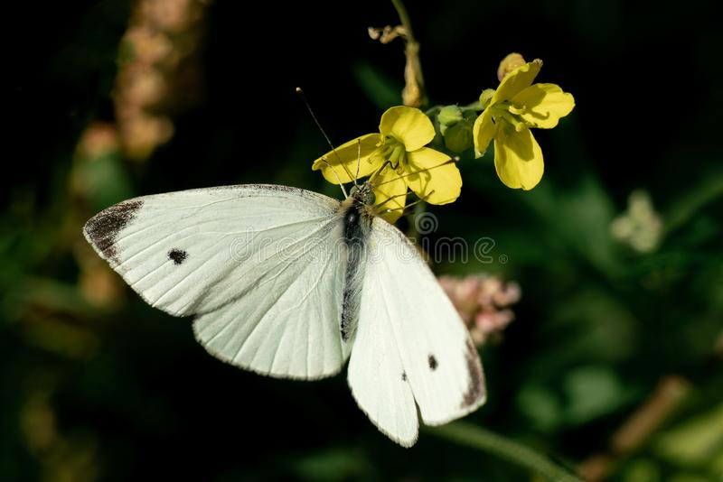 Detailed close up of a white Pieris rapae small cabbage white butterfly on some yellow flowers royalty free stock images