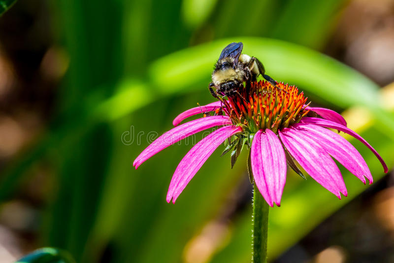 Detailed Closeup of Beautiful Pink or Purple Coneflower with Bumble Bee royalty free stock photography