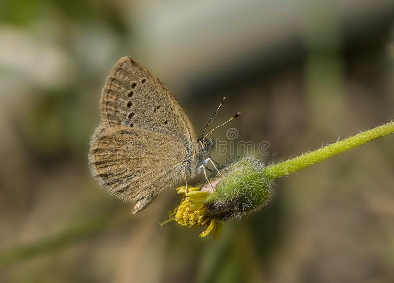 Common Grass blue butterfly. Detailed closeup of common grass blue butterfly on flower bud royalty free stock photography