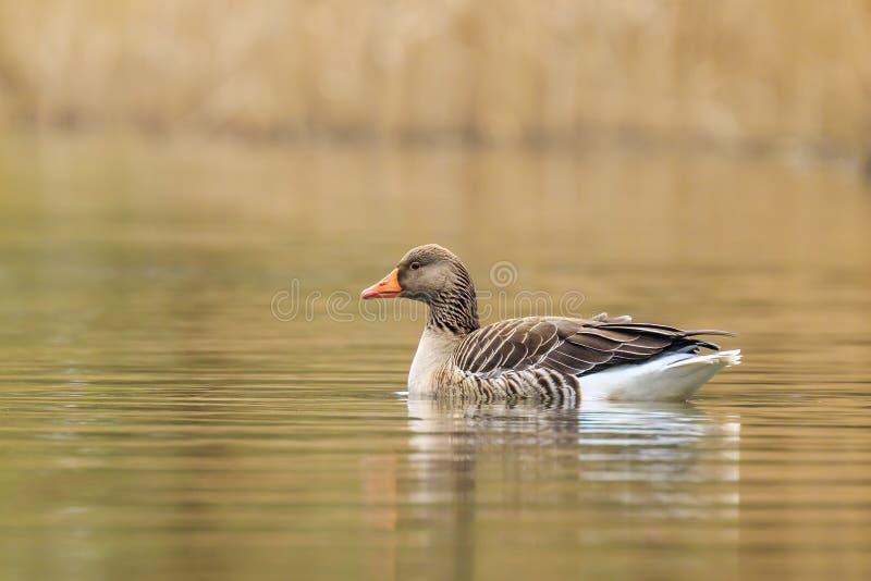 Greylag goose Anser anser swimming stock photos