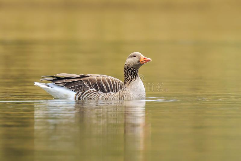 Greylag goose Anser anser swimming royalty free stock photography