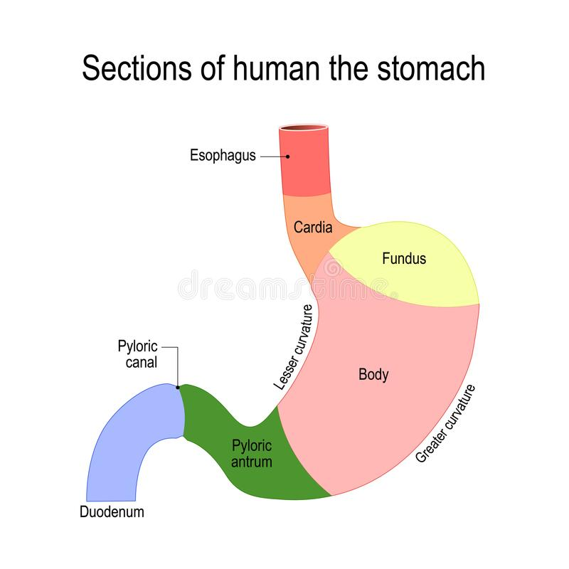 Detailed diagram of the structure from inside of the stomach. Sections of the stomach. parts and regions: duodenum, esophagus, sphincter and body stomach. Human royalty free illustration