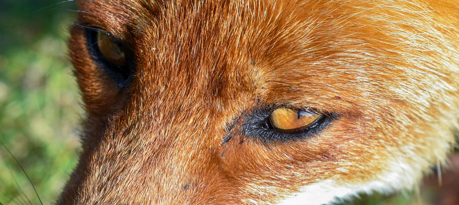 Detailed face close up portrait of a young red fox stock photos