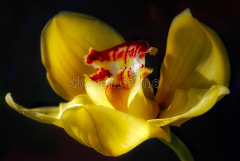 Detailed floral macro of a single isolated yellow red orchid blossom on black background. Detailed floral macro of a single isolated flowering yellow red open royalty free stock image