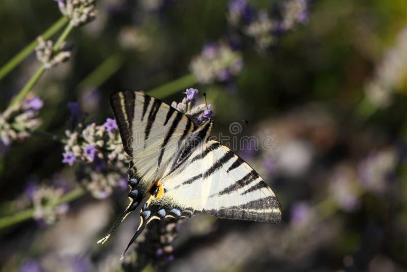 detailed högt vektor för swallowtail för illustrationiphiclidespodalirius knapp arkivbild