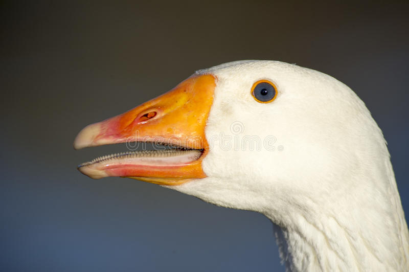 Detailed head of a white goose royalty free stock image