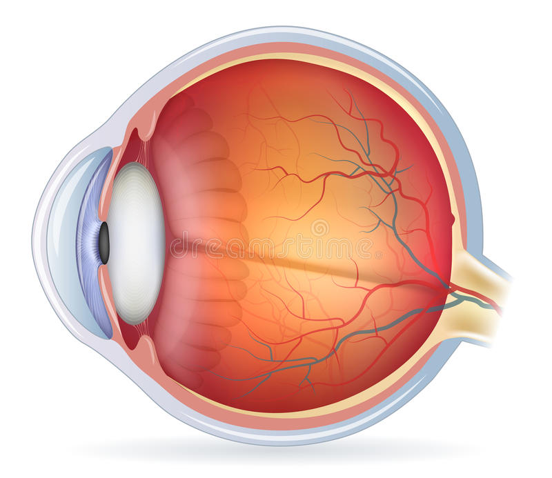 3d Human Eye Diagram Unlabeled - Block And Schematic Diagrams •