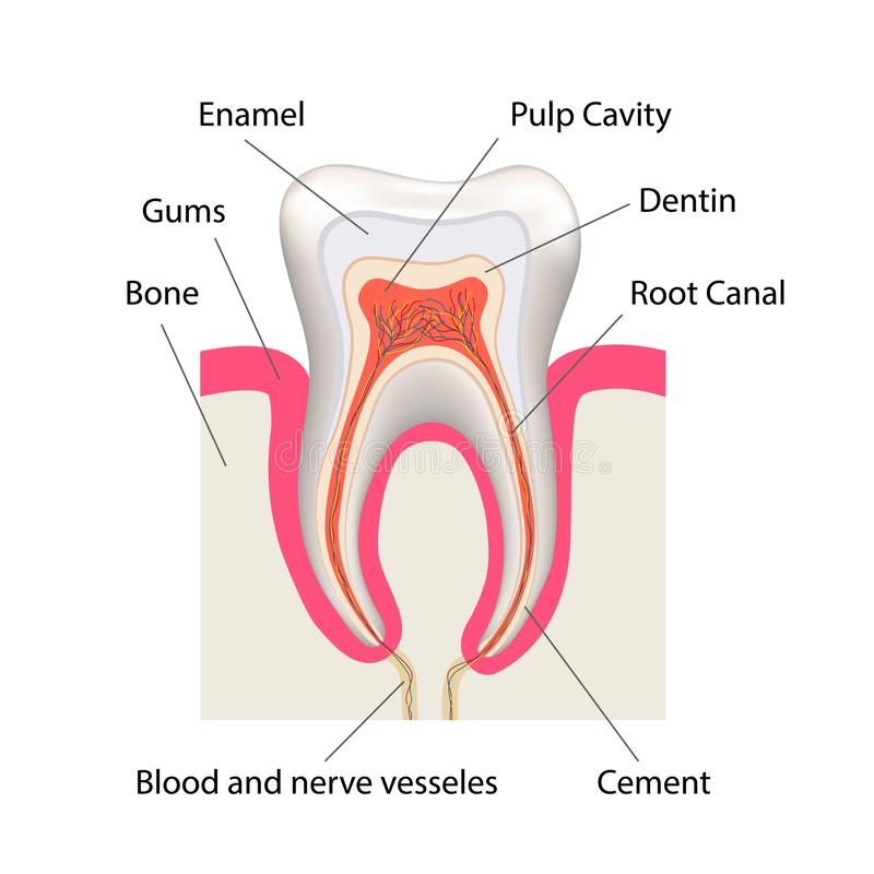 Detailed human tooth anatomy infographic chart isolated on white vector illustration