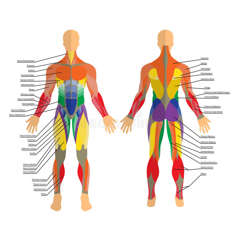 Detailed illustration of human muscles. Exercise and muscle guide. Gym training. Front and rear view. stock illustration