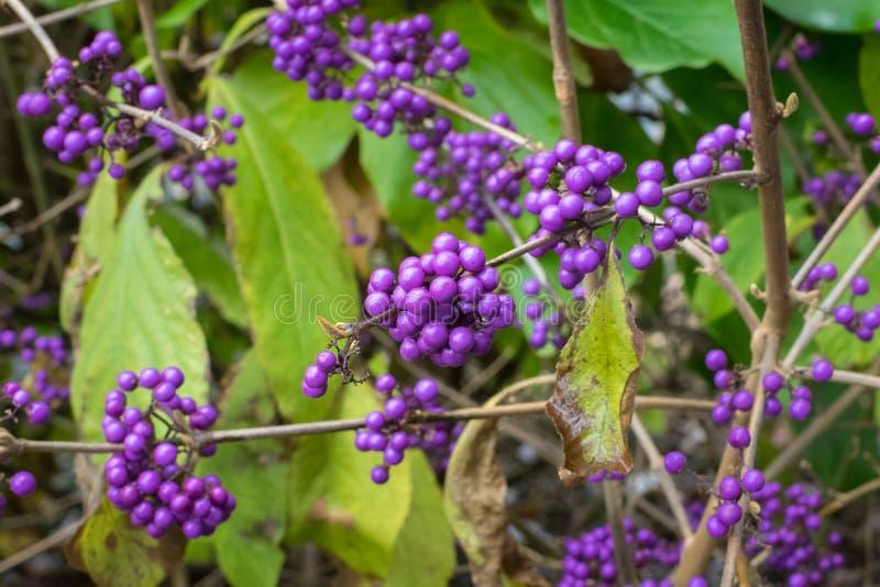 Purple berries of American beautyberry or Callicarpa americana. Detailed image of Callicarpa americana, also known as American beautyberry. Decorative purple to stock image
