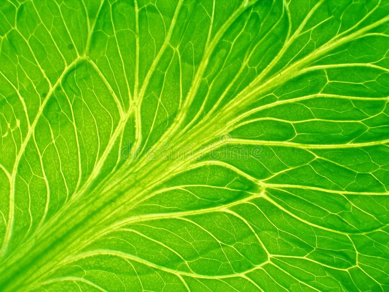 Detailed leaf of salad royalty free stock images
