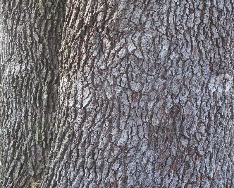 Detailed look at the bark of an ancient Live Oak Tree. A close up look at the bark of an ancient old Live Oak tree, suitable for background texture stock images
