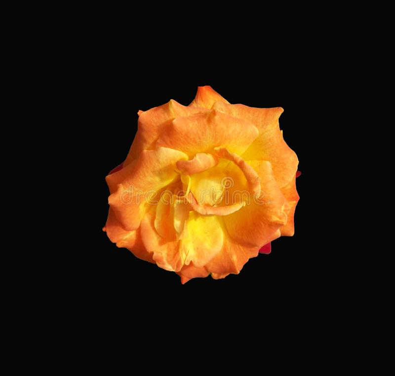 Unusual orange rose close up and centered on a dramatic black background. Detailed look at an unusual orange rose centered on a black background stock photography