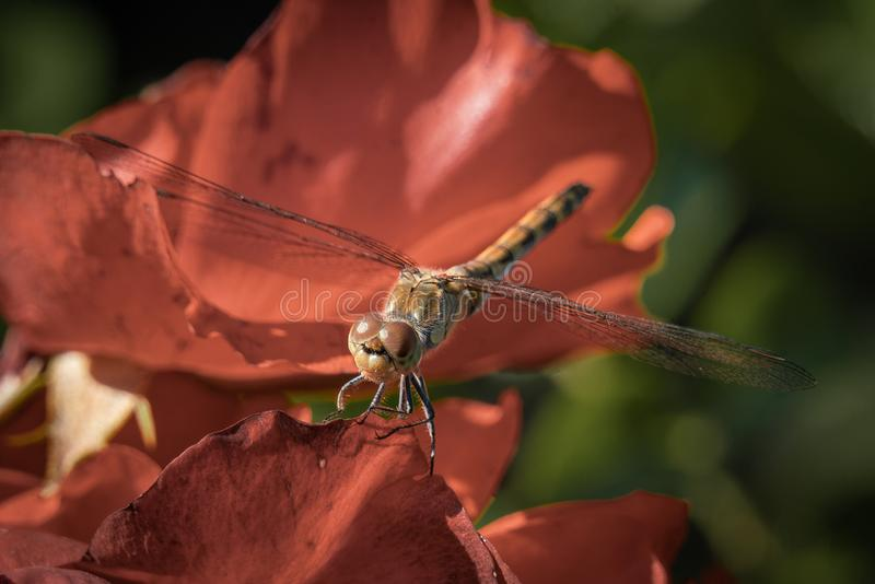Detailed macro close up of a brown dragonfly with translucent wings royalty free stock image