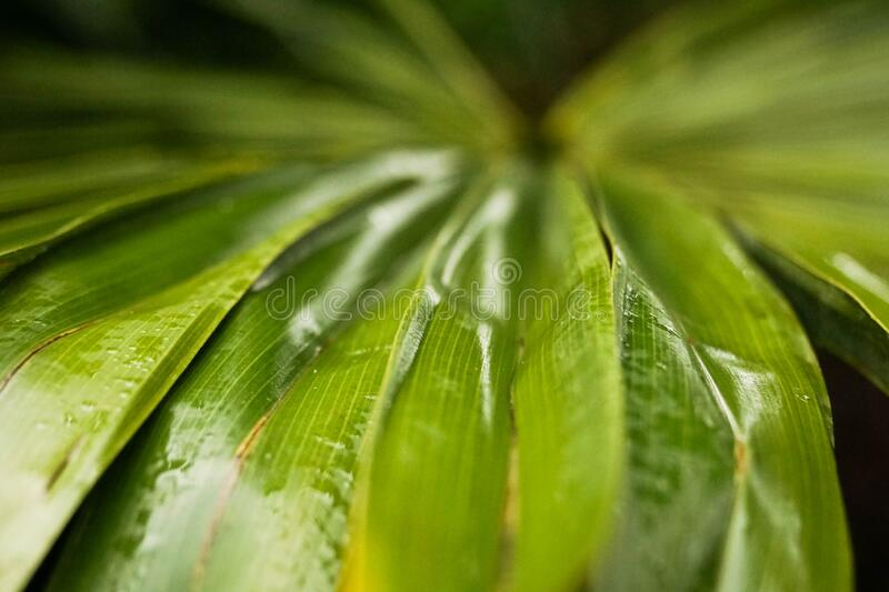 Detailed macro closeup of a wet palm leaf with shallow depth of field. Focus on the foreground with bright green and yellow colours. Contrasts with the dark stock images