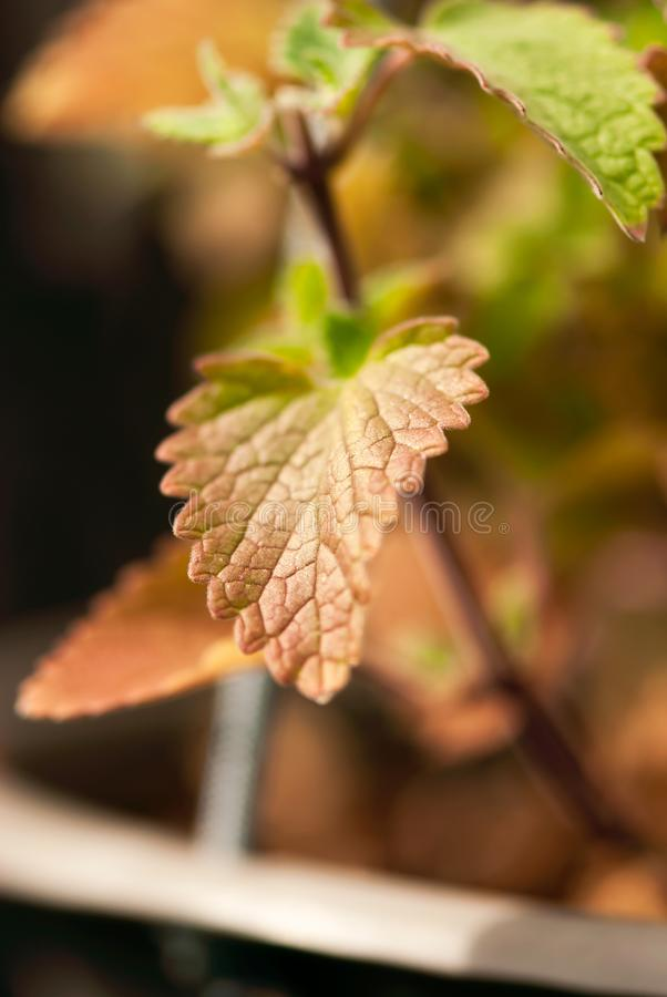 Fall Catnip Leaf. A detailed macro shot of a catnip leaf turning brown in fall stock images