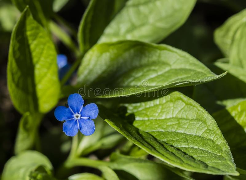 A detailed photo of a small blue plant surrounded by green leaves stock photo