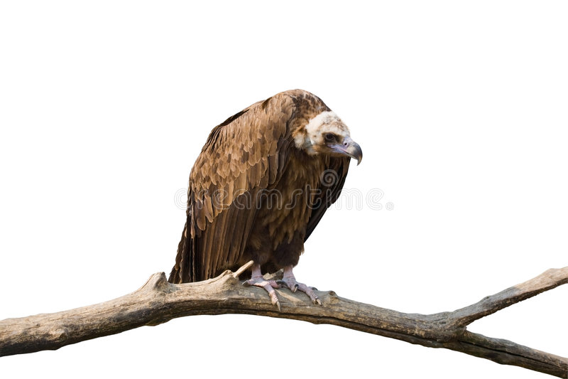 Download Detailed Photo Of Vulture Sitting On A Stock Image - Image: 9004797