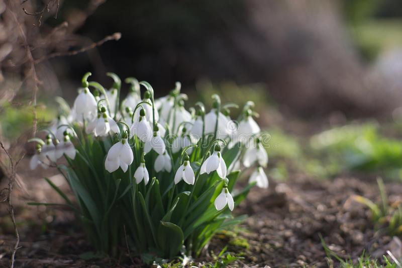 Detailed picture of the bunch of Snowflake or Snowdrop flower in the bloom. royalty free stock image